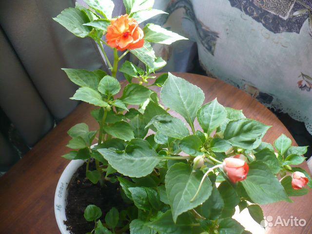 Ванька мокрый махровый цветок