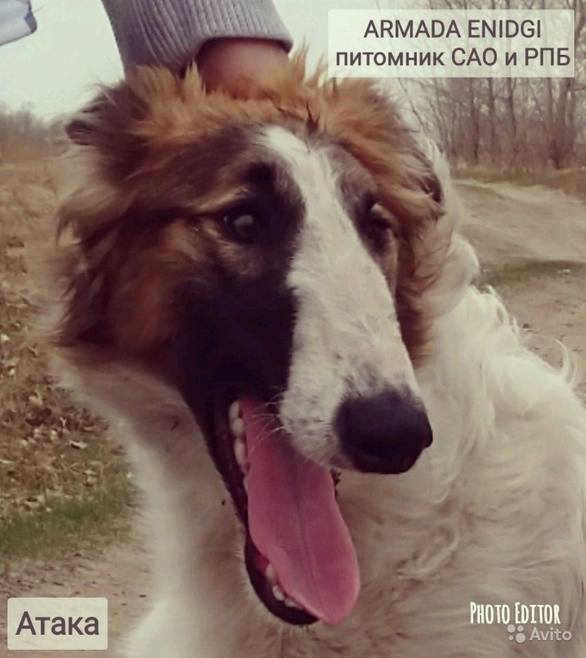 Щенки рпб 8мес с документами РКФ от питомника в Тюмени - фотография № 5