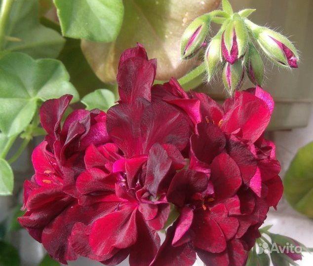 Цветы. Герань плющелистная, ампельная купить на Зозу.ру - фотография № 6