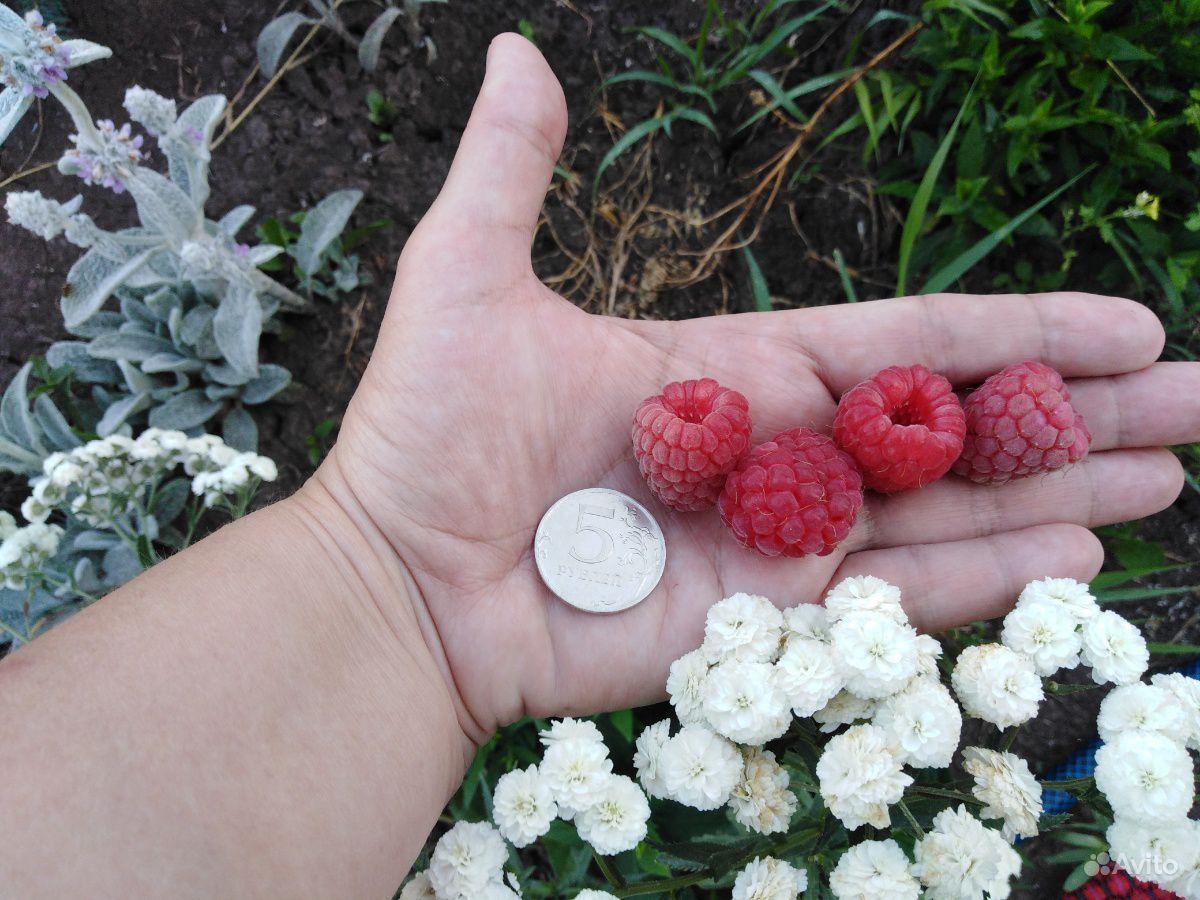 Саженцы малины купить на Зозу.ру - фотография № 6