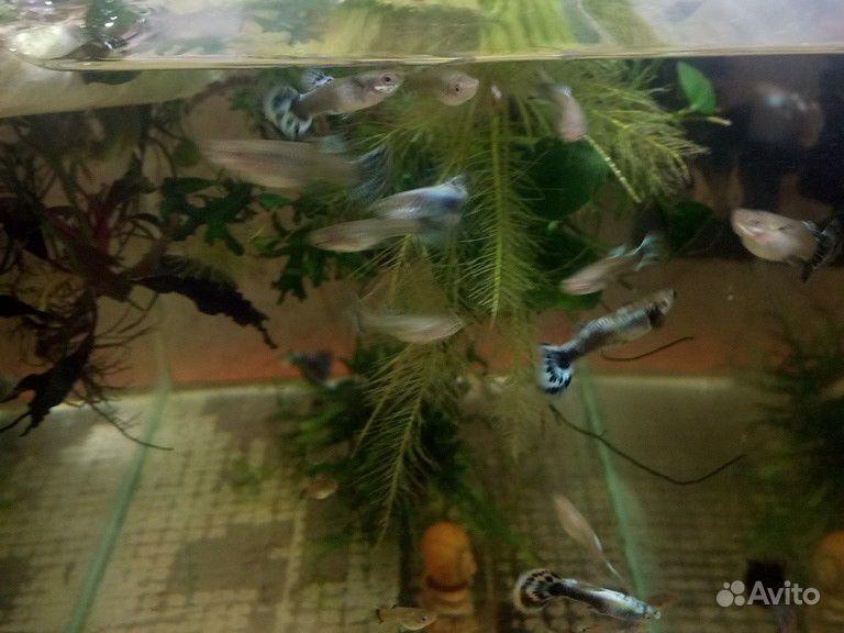 Породистая рыба купить на Зозу.ру - фотография № 7
