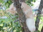 Котенок сибиряк