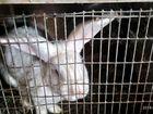 Кролик - производитель