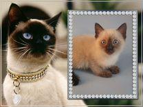 Тайцы - самые лучшие кошки