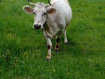 Коровы дойные молочные