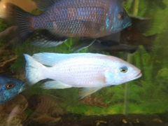 Рыба малавийские цихлиды