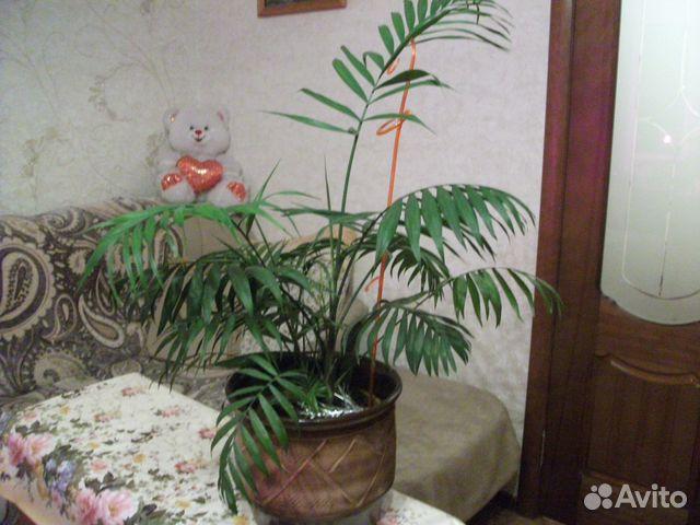 Цветы комнатные  хамедорея