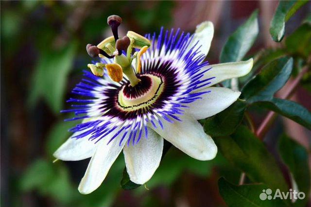 Пассифлора (страстоцвет) в домашних условиях. Уход, фото ...