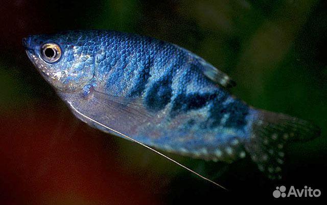 Живородящие аквариумные рыбки виды содержание и