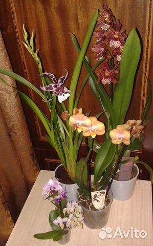 Купить орхидеи на авито в москве