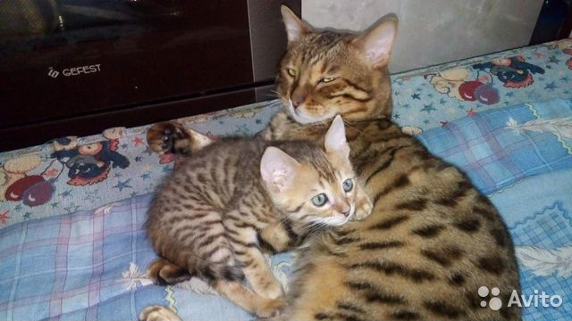 Объявление отдам котёнка за 2012 подать бесплатное объявление в боровичах