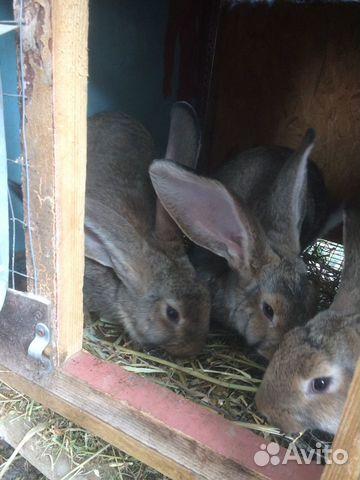 Кролики 89780705271 купить 4