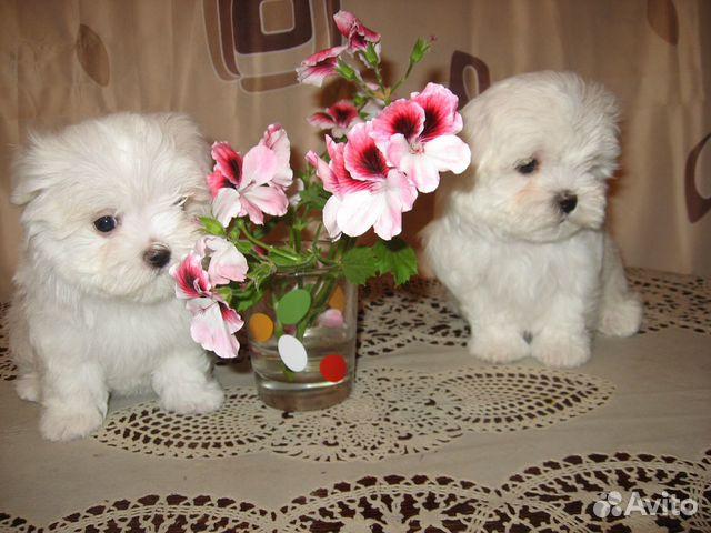 Продам щенков Мальтийских болонок купить на Зозу.ру - фотография № 4