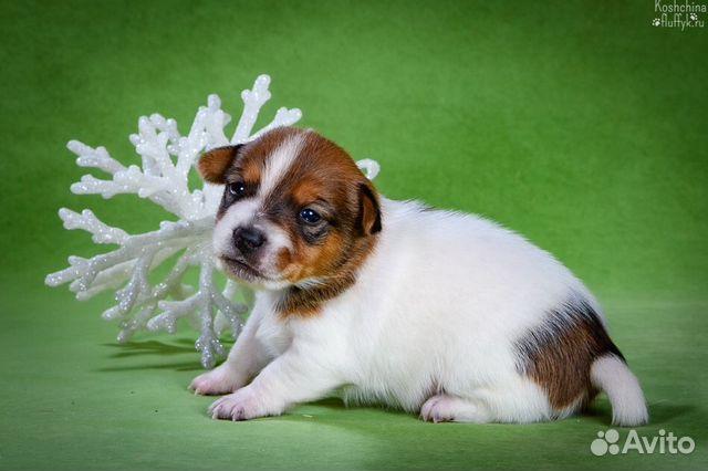 Джек Рассел терьера щенки купить на Зозу.ру - фотография № 4