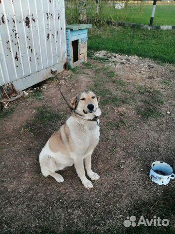 Собака 89174460564 купить 1