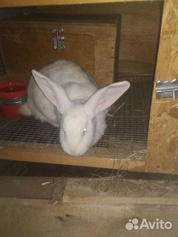 Кролики Серый и Белый Великаны купить 4