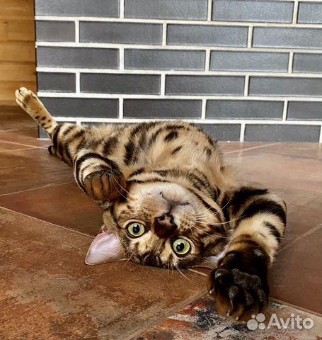 Бенгальский котик вязка  купить 10