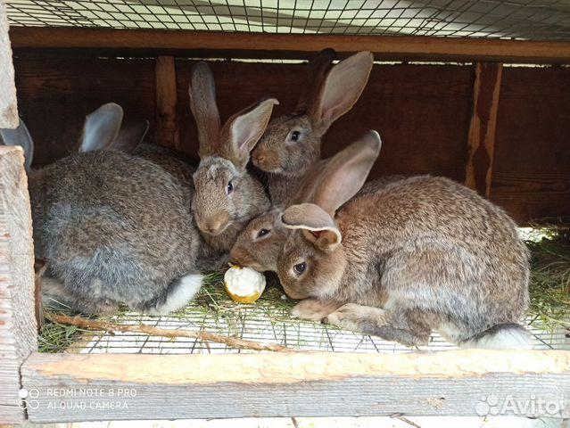 Продаю кролов купить 5