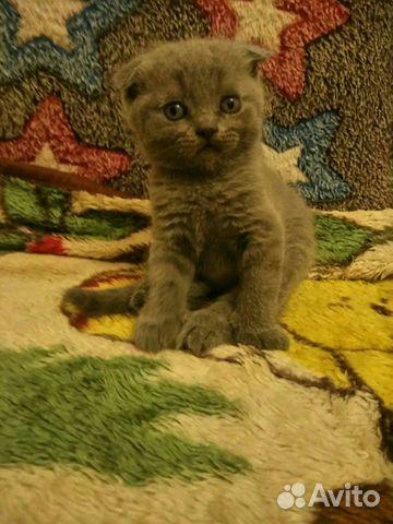 Британские котята 89788145185 купить 6