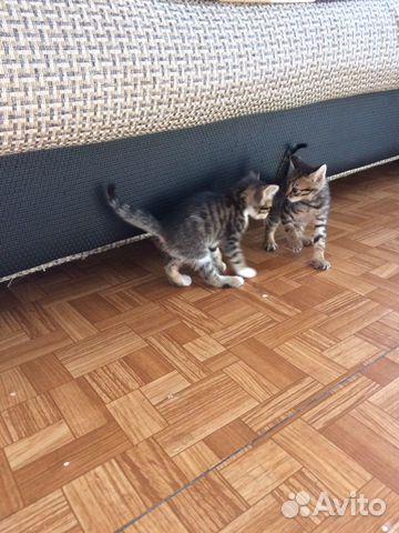 Котята  купить 3