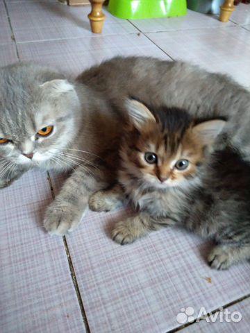 Продажа кошек шотландской породы купить 1