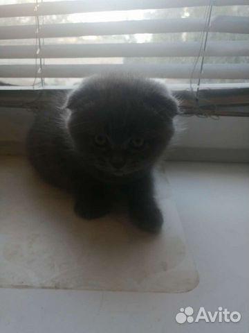 Веслоухий котенок