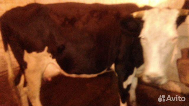 Продается корова  89086624344 купить 4