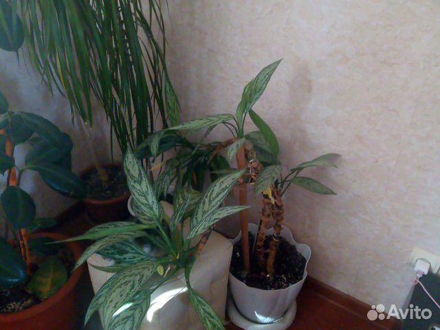 Домашние цветы  89050600151 купить 3