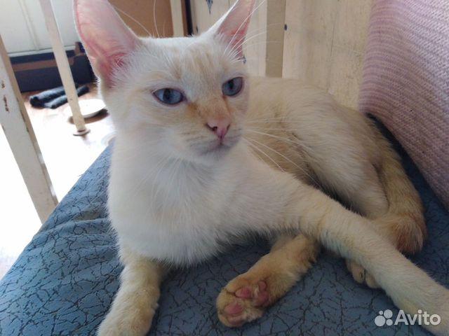 Сиамская кошка окрас ред-пойнт в добрые руки  89623042671 купить 2