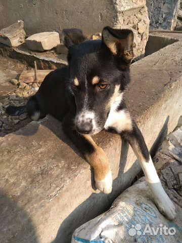 Собака  89538155990 купить 1