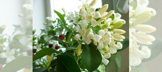 Цветок бенджамин фикус фото