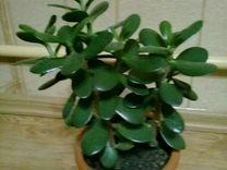 Денежное дерево — Растения в Рязани