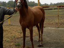 Лошадь чистокровная — Другие животные в Великовечном