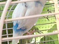 Самочка волнистого попугая