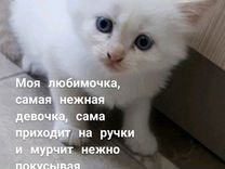 Невский маскарадный котенок в добрые руки