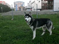 Сибирская хаски Вязка