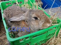 Кролики самцы