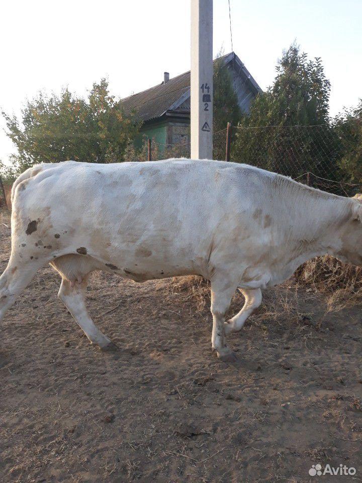 Корова  89616901895 купить 2