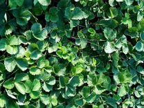 Клубника Джоли, Альба касетная — Растения в Великовечном