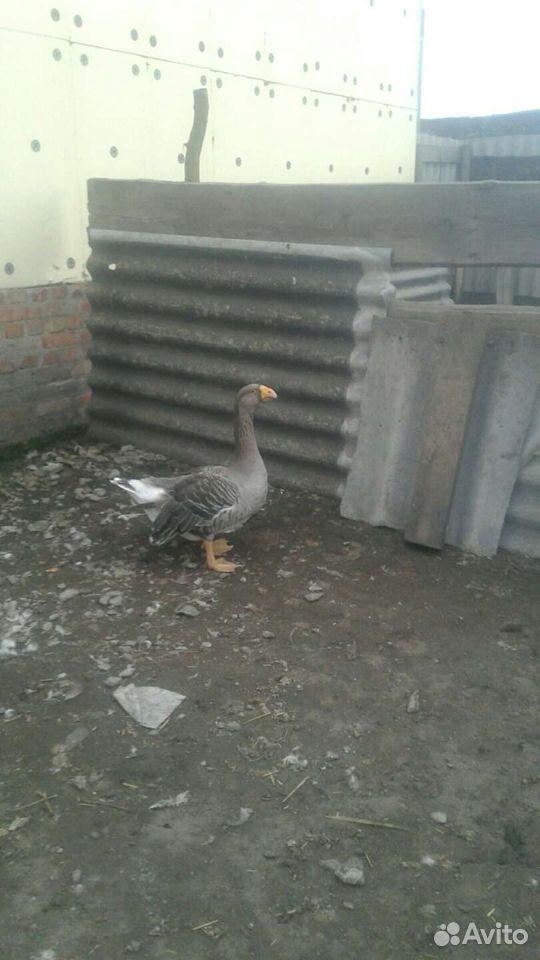 Geese  89606871859 buy 1