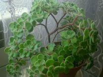 Аихризон (дерево любви)