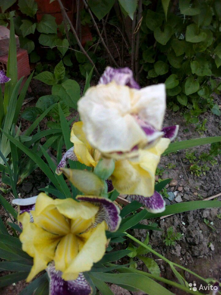 Растения садовые  89875767809 купить 5