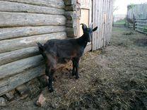 Овцы, козы, индоутки