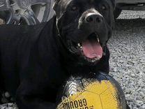 Вязка Кане Корсо — Собаки в Геленджике