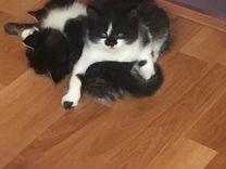 Котята, мама - шотландка