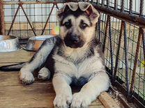 Продается щенок вео Сука 2.5 месяца