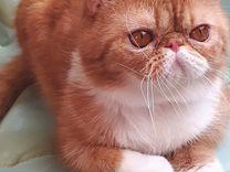 Замечательный, нарядный котик экзотик